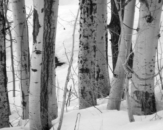 Black and White Photography - Crowd - 8x10 Nature Landscape Photograph - Picture of Birch Trees in Winter - IN STOCK