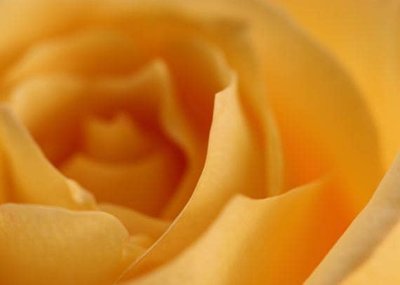 Edgy - 5x7 Fine Art Photography - Yellow Rose Abstract Flower Photo
