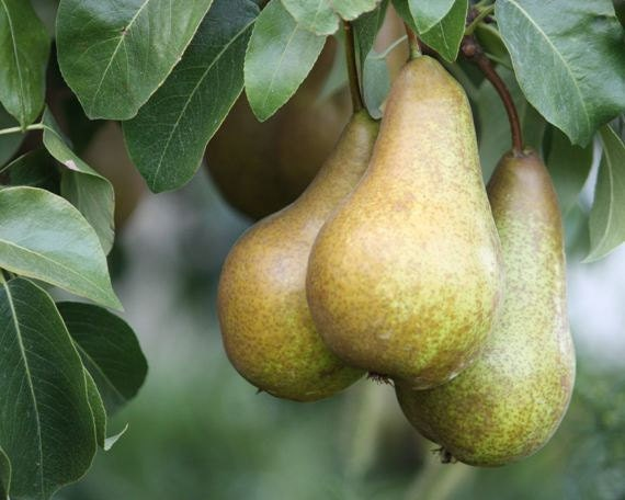 Bounty - 8x10 Fine Art Nature Photograph - Bosc Pears at Harvest Time - Kitchen Art