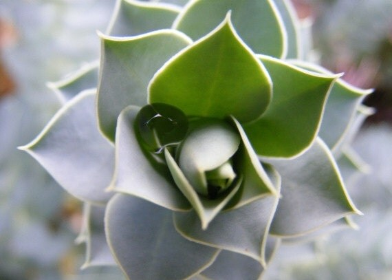 Warped - 5x7 Macro Nature Photograph - Grey Jade Botanical Print - Water Droplet in Sage Green Succulent Plant - IN STOCK