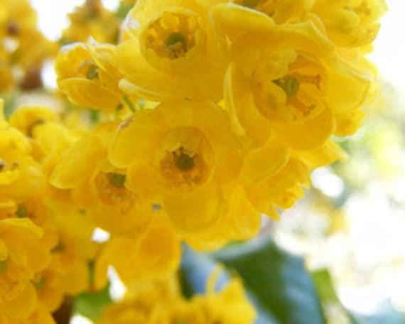 Brilliant - 8x10 Flower Photography - Print of Yellow Spring Blossoms - IN STOCK