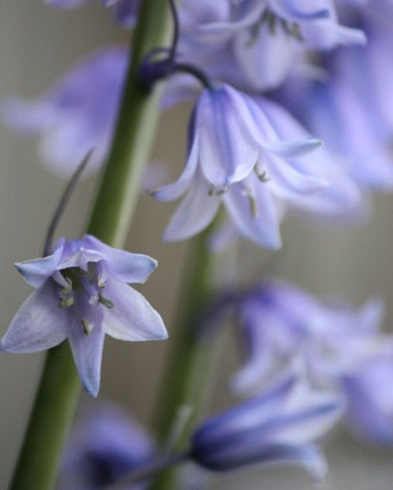 Daydream - 8x10 Flower Photography - Spanish Bluebells in Periwinkle Blue - Wall Art - IN STOCK