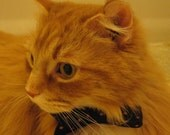 Kitty's First Bowtie