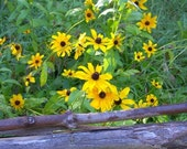 Black Eyed Susans Along Fence in Rittenhouse Town Philadelphia Photograph