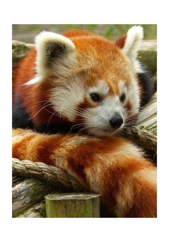 Red Panda Jing Li Philadelphia Zoo Wildlife Photograph