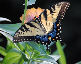 Swallowtail Butterfly 8x10 photograph