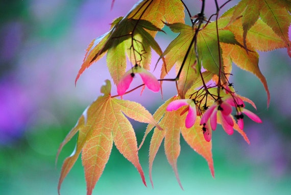 Nature Photography Japanese Maple Rainbow, rose, greens, and lavender.