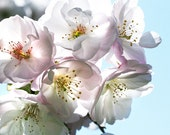 SALE (2) Cherry Blossom Photos,  Gift for Mom, Gift for Grandma, Bedroom Wall Decor, blue, white art - Softly Sweet & They Come in Peace