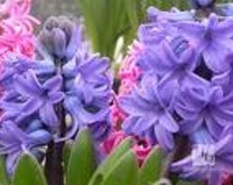 4 Hyacinth Soy Tarts Tart Melts Black Mountain Candles