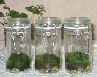 3 Baby Moss Terrariums   Fresh Green Baby Moss  Great for home, school, or office