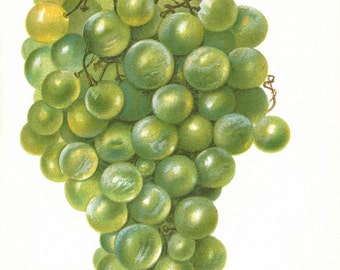Vintage Print Grape 1904 Dept of Agriculture Original vintage print