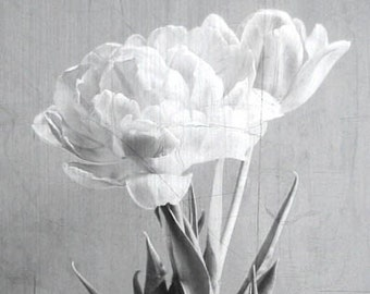 Tulip Twin Flowers Black and White  Fine Art Photographic Print