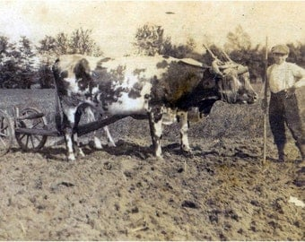 French Pastoral Plowing Fields w Oxen Boy Father vintage photo