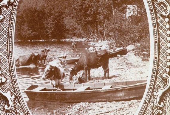 1909 Cows Drink at Lake Shore