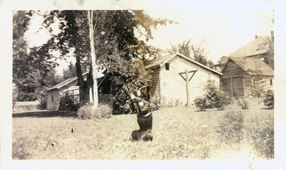 vintage photo Boston Terrier is Doing some kind of Trick in the grass