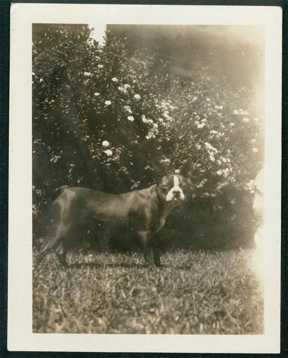 vintage photo Boston Terrier 1929 named PAtsy