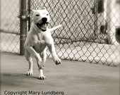 Happy running pitbull rescue dog photo of pit bull in Miami shelter