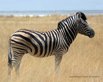 Zebra photo print - 8x10 inches (20x25cm) - fine art wildlife photography, African safari animal, travel, nature