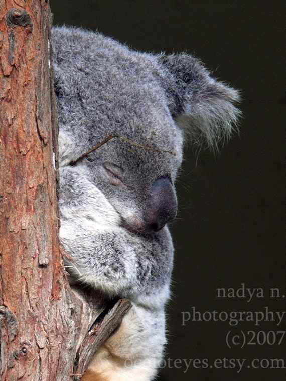 Koala - The Art of Sleep - signed photo print, size 8x10 inches (20x25cm)