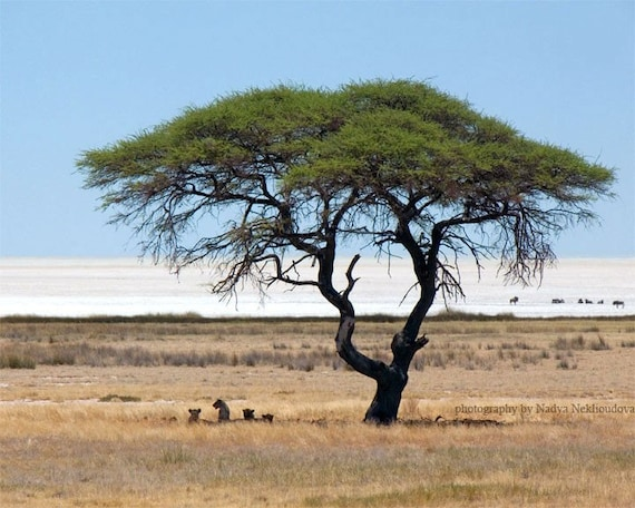 Savannah Tree with Lions - photo print 8x10 inches (20x25cm) - African safari fine art nature landscape photography