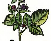 Black Raspberry Botanical