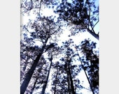 Tall, Tall Trees: surreal fine art photograph print of tall pine trees with gray, black, blue, and purple