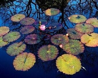 Botanical Garden Art, Water Photo, Floral Photograph, Lily Pad Wall Art, Dark Blue Pond Photo, Pink Lily Photo, Flower Photo, Dark Blue Art