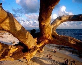 Driftwood Photograph, Fallen Tree Photo, Deer Island Photo, Brown Blue Beach Art, Mississippi Coast, Barrier Island Photo, Live Oak Tree Art