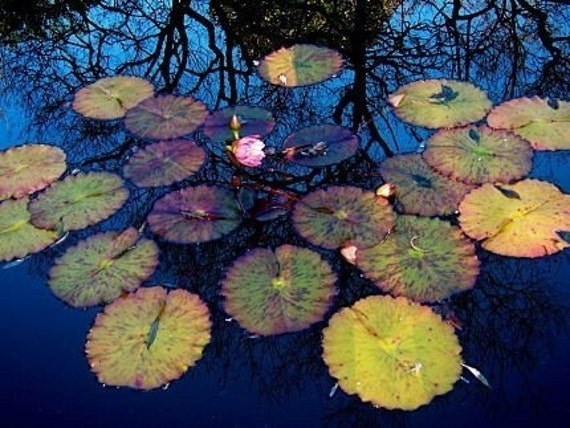 Lily Pads II: fine art photograph print of yellow leaves, pink flowers, dark blue water, and reflection of tree branches