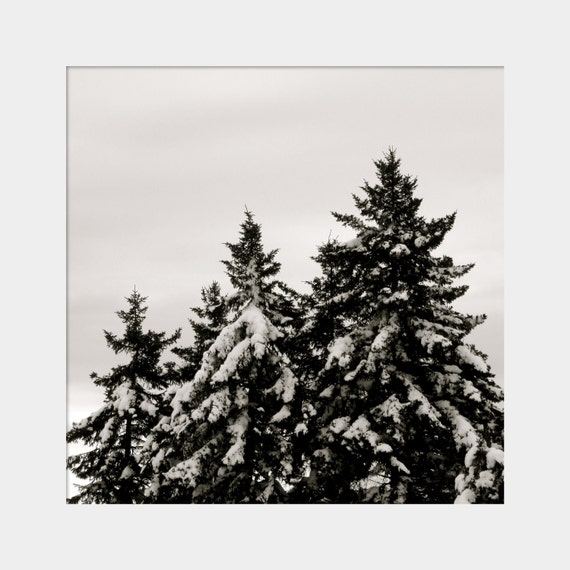Three Evergreens in the Snow: a black and white, simple, square fine art photograph print of 3 pine trees in winter