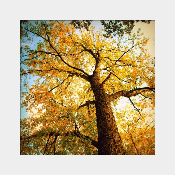 Golden: a square fine art photograph print of glowing autumn tree reaching toward the sky