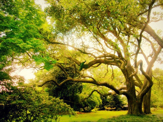 Peacock's Perch: a fine art photograph print of live oak tree branches with bird in dreamy green