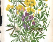 Antique 1860 Color  Flower Plant Print Anne Pratt Bookplate - Number 61 Birds Foot Thefoil & Oxytropis - Reduced