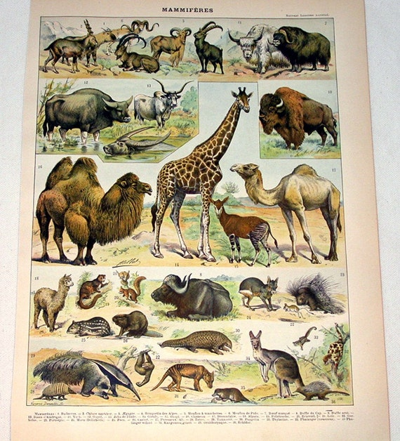 Antique Mammals Chromolithograph from the French Encyclopedia Nouveau Larousse Illustre Animal Print - Reduced