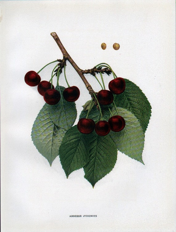 Antique 1915 Cherry Branch with Fruit Print - Bookplate - Abbesse Doignies - Reduced