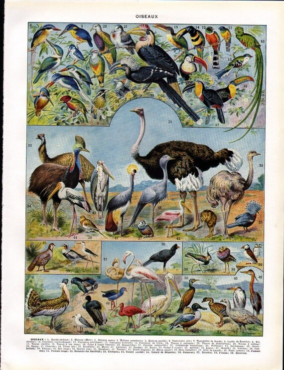 Vintage Color Print of Birds from the French Encyclopedia Nouveau Larousse Illustre Oiseaux Plate 1 - Reduced