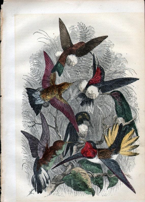 Antique Hummingbird Color Engraving Bird Print