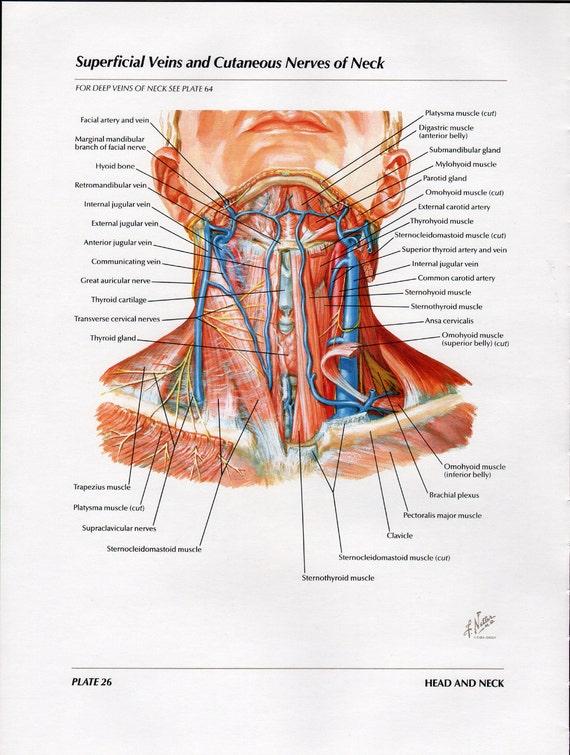 Netter Medical Illustration Muscles Nerves Veins Neck Full Color  Vintage Print