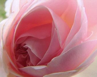 Embrace - Pink Rose Macro Metallic Photo Art Print