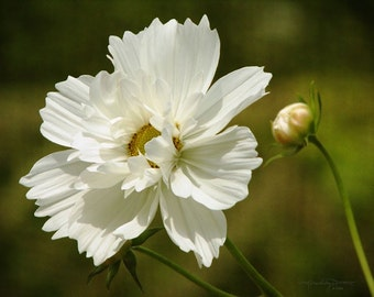Beauty's Reflection - White Meadow Flower Photo
