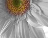 Gerbera Daisy 5x7