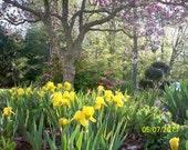 15 Lemon Scented Miniature Yellow Iris