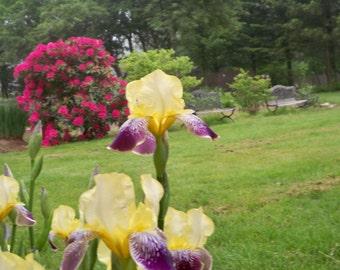 Yellow and Purple Iris //  German iris // Lovely Bearded Iris