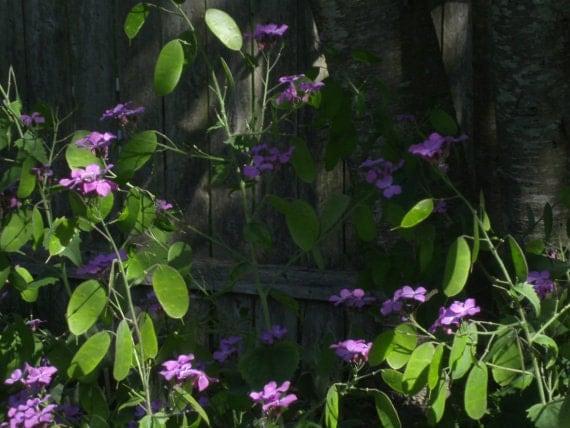 Free Seeds for Lunaria