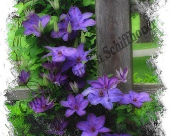 Clematis Enhanced Photography, Giclee Print, Wall Art Print, EBSQ