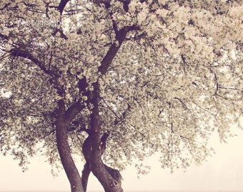 blooming white cherry - limited edition photograph