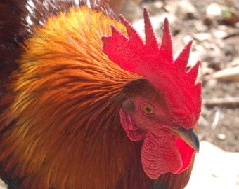 Photo - Sunny Rooster - 8x10 Fine Art Photograph