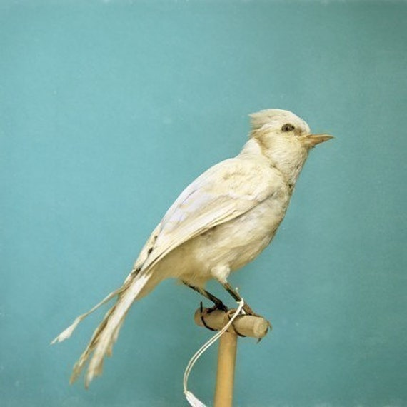 Fine Art Bird Photograph - Natural History - Albino Blue Jay - Nature Print