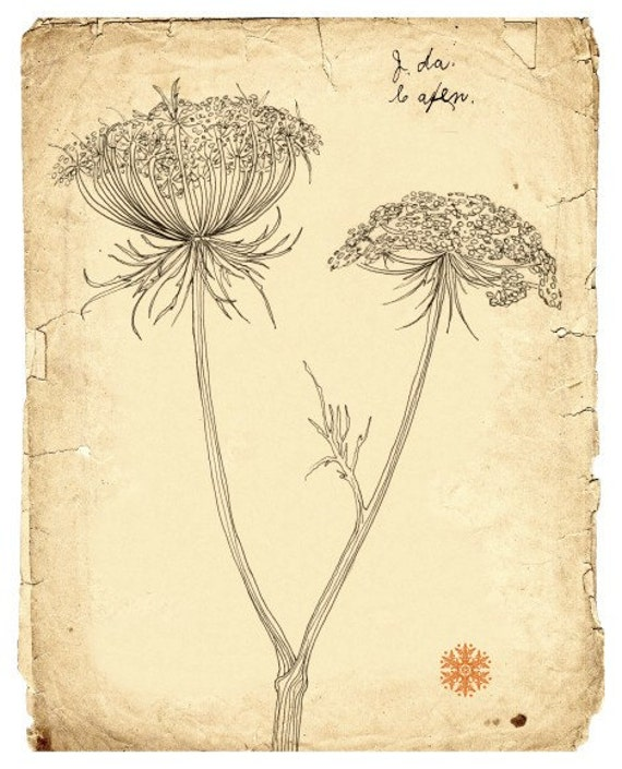 Botanical Flower Line Drawing : Queen annes lace pen and ink line drawing by moonflowermuse