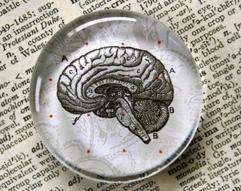 Brain Magnet - Jumbo Glass Magnet for Zombie Lovers  - Neurologists - and Everyone Else